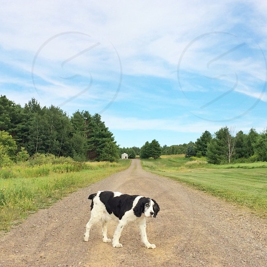 large breed black and white dog on dirt road through green grass with green trees under blue and white cloudy sky photo