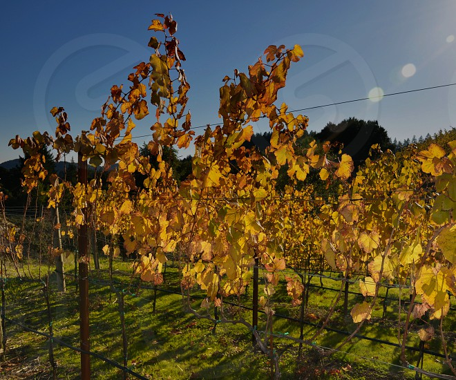 fall comes to the vineyard photo