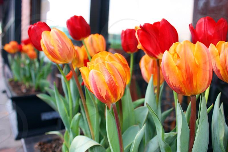 Flowersspring red yellow Boston tulip photo