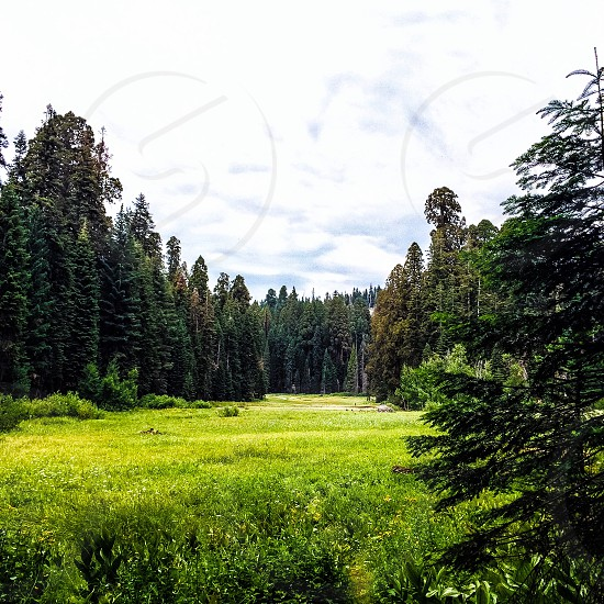 green glass field surrounded pine trees under white sky photo