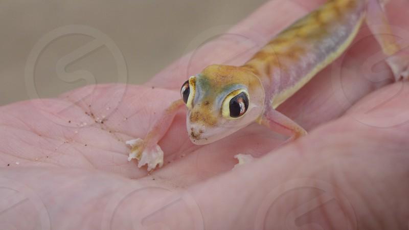 Gecko Namibian desert closeup photo