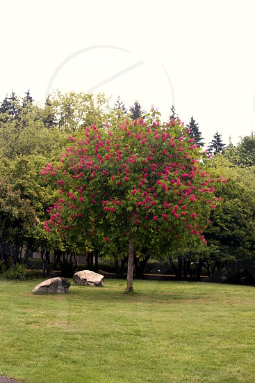tree vancouver pink flower spring photo
