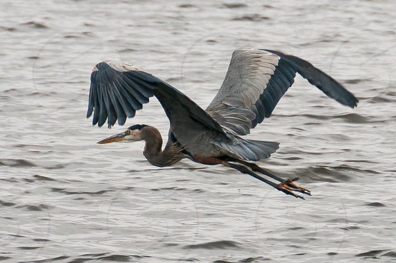 Blue Heron. photo