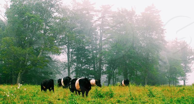 Oreo Cows Belties Cows Camden ME grass trees mist fog travel pasture Maine summer vacation  photo