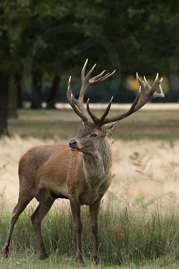 Red deer on a grassy bank of a stream during the rutting season photo
