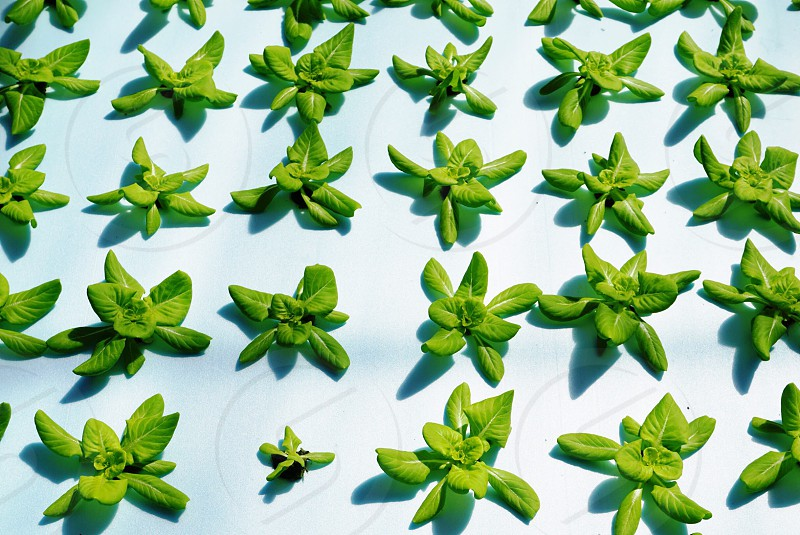 Green salad leaves grow hydroponic agriculture tray food vegetable fresh healthy vitamin spring photo