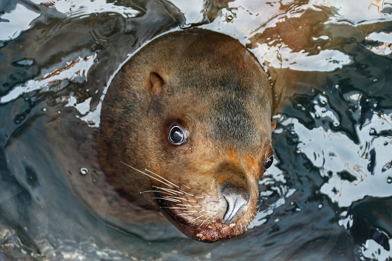 Steller Sea Lion (Eumetopias Jubatus) floats in water. Avacha Bay Kamchatka Peninsula Russian Far East. photo