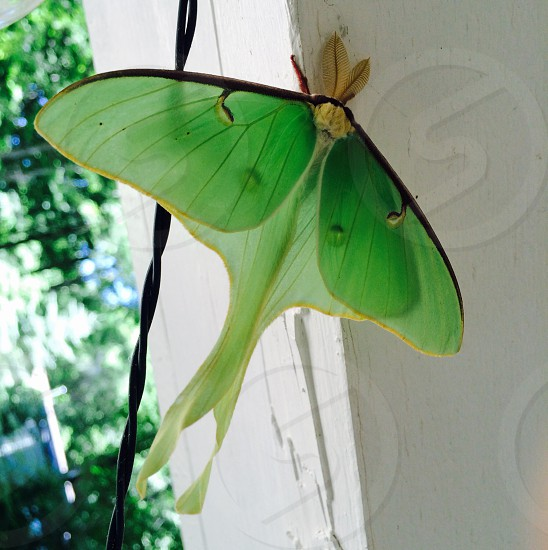 Luna moth cottage visitor green winged beauty delicate lovely luna. photo