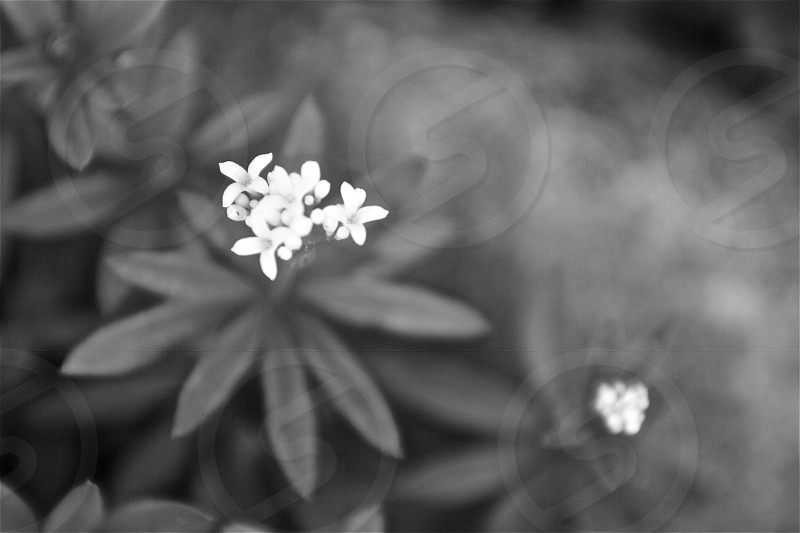 Small white flowers in black and white photo