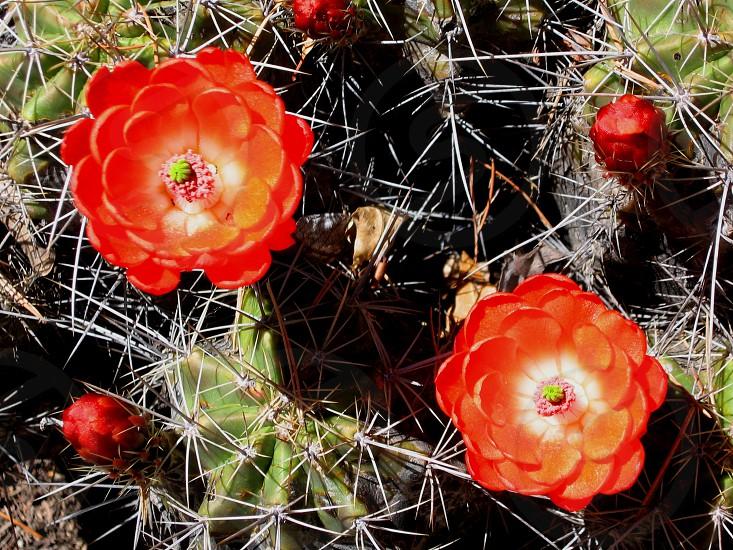 Blooming claret cup cactus Echinocereus triglochidiatus also called hedgehog cactus blossoms in the wild. photo