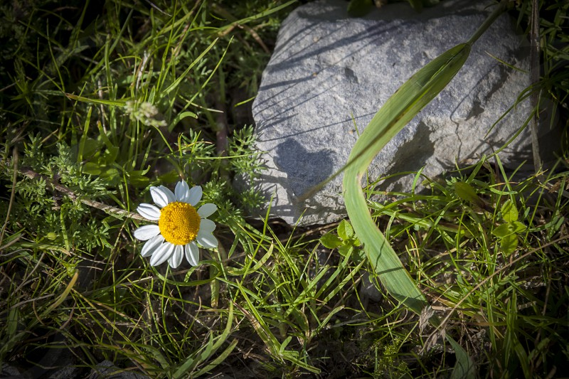white daisy in green grass by grey rock photo