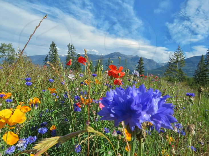 mountains  blue sky wild flowers summer clouds art purple yellow straw red green landscape photo