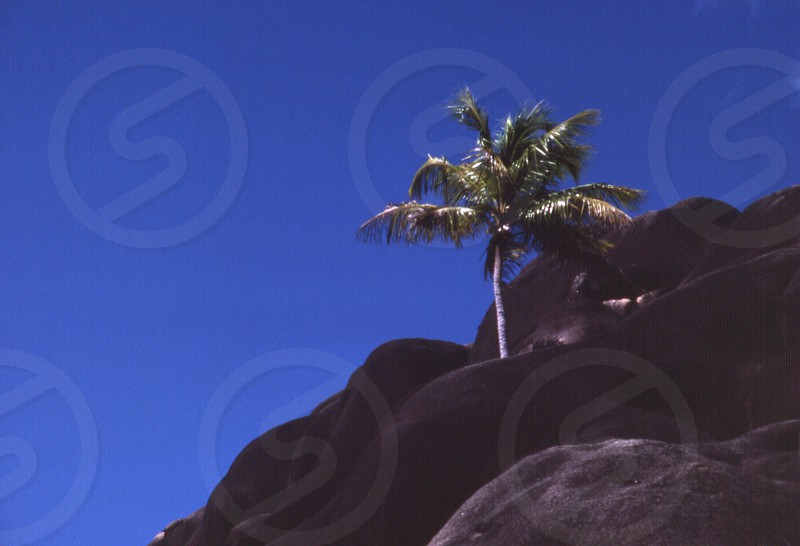 The eager palm tree (half and half) photo