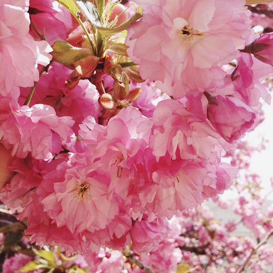 Spring blossoms photo