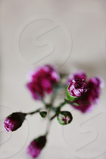 Pretty purple carnations photo