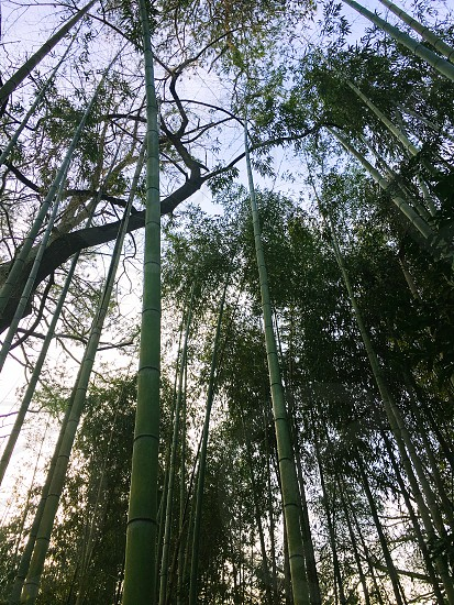 Bamboo forest bamboo forest woods trees nature outdoors green secluded photo