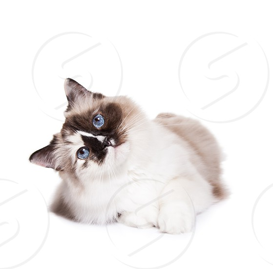 Curious blue-eyed Ragdoll Cat with head tilted on a White Background photo