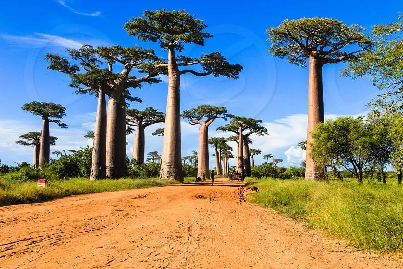 Baobab Alley Madagascar photo