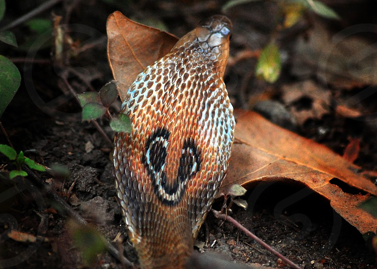 Indian Cobra photo