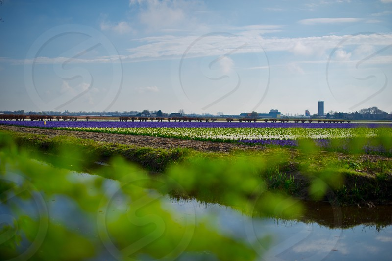irrigation ditches surrounding purple flower fields with farm silos in the distance photo