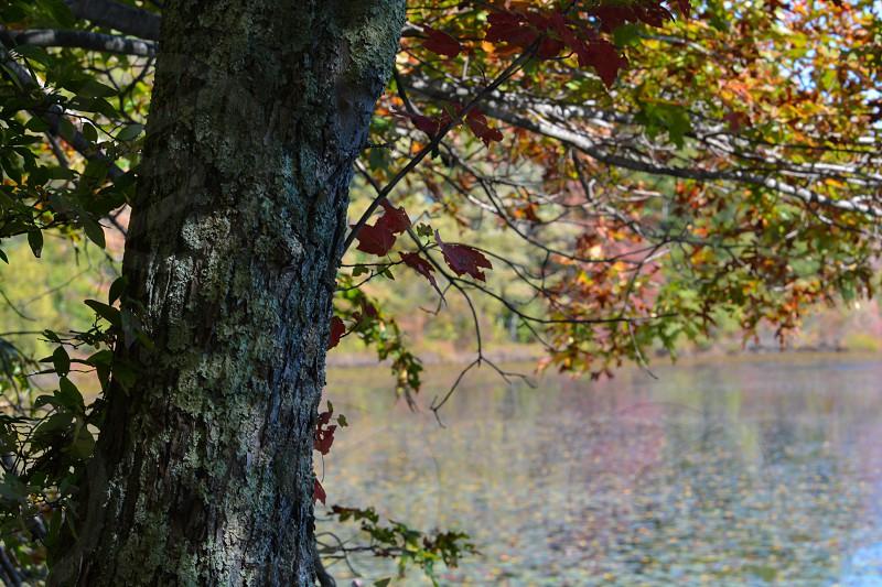 Tree pond fall foliage  photo