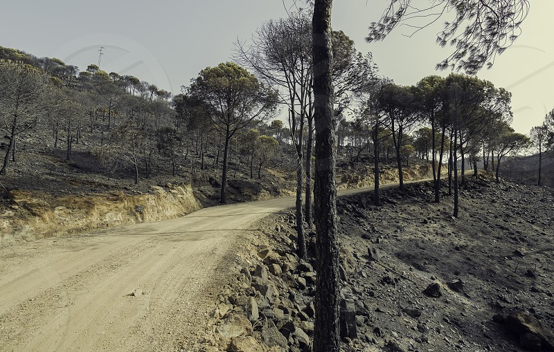 Burnt pine forest with soil full of ashes and dirt road with blue sky background photo