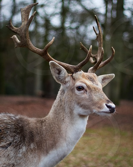 Male deer with antlers photo