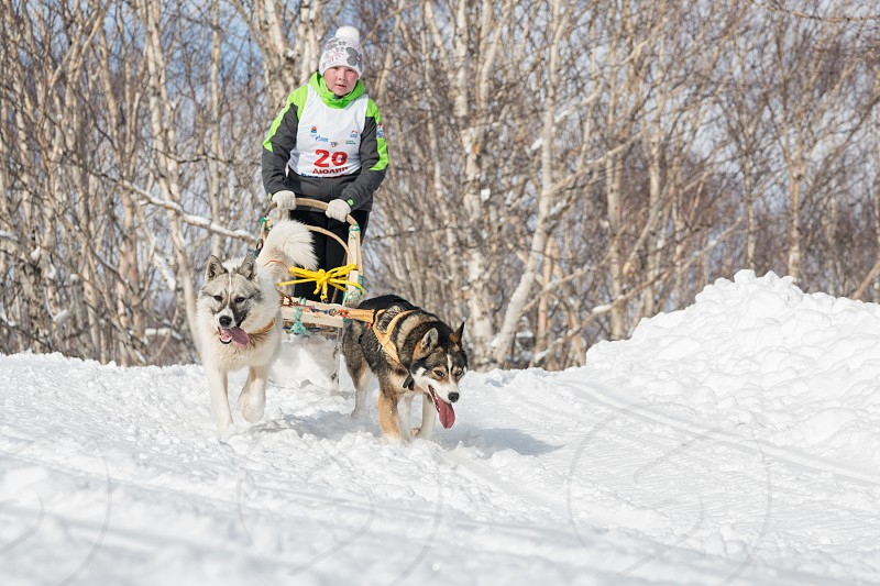 PETROPAVLOVSK-KAMCHATSKY KAMCHATKA RUSSIA - MARCH 2 2014: Kamchatka Kids Dog Sledge Racing Dulin Beringia. Young girl musher with his sled dog runs at a distance of 3 kilometers in the woods. photo
