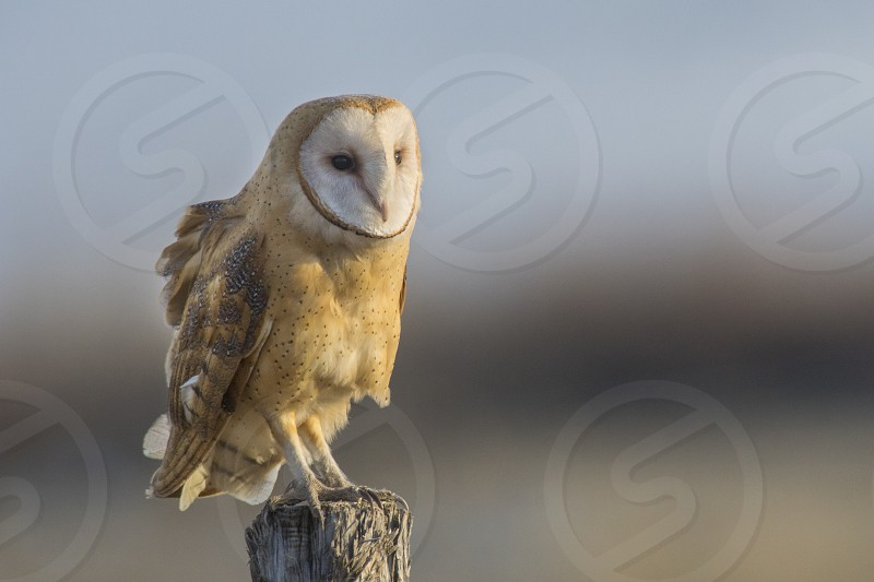 Barn owl at sunset on a fence post photo