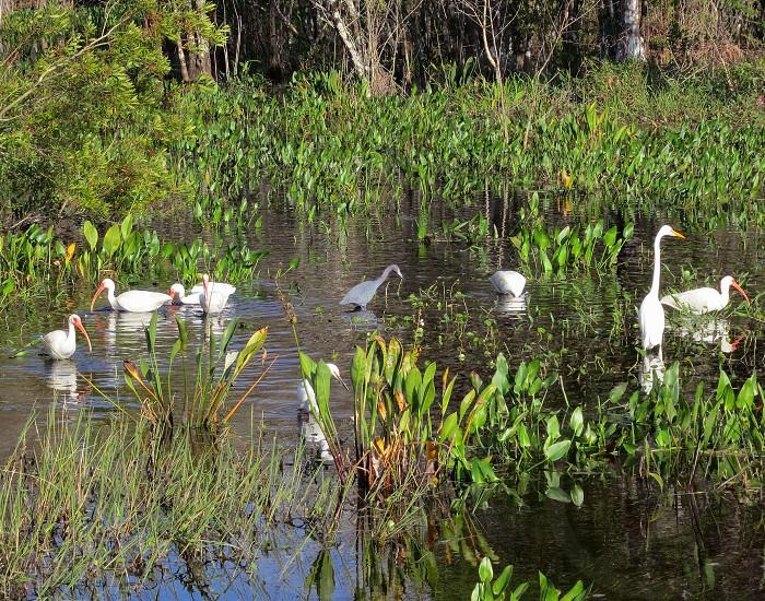 Egrets and ibises Corkscrew Swamp Sanctuary South Florida photo