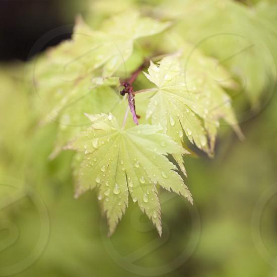 Japanese Maple photo