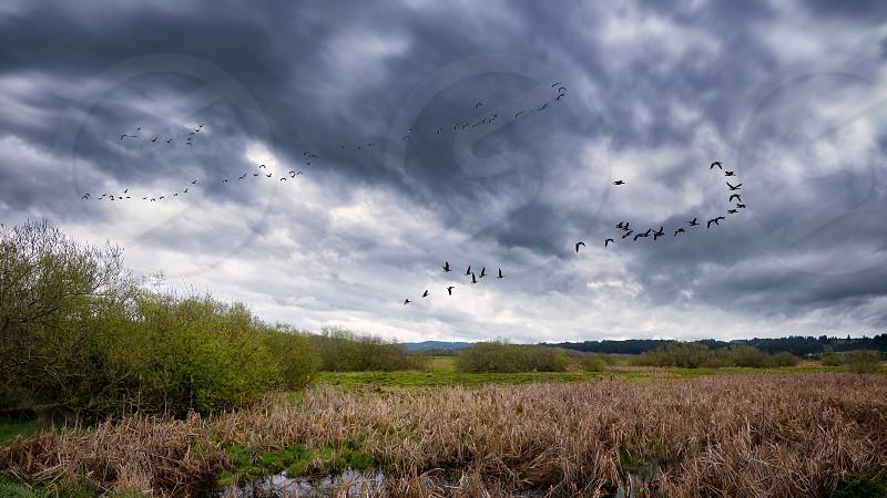 Flock of Birds Flying Near a Marsh photo
