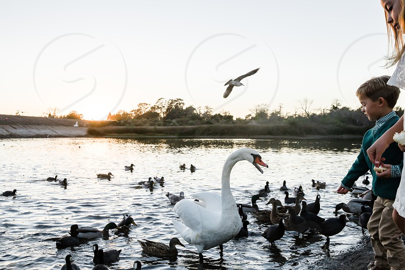 white swan and ducks in the water photo