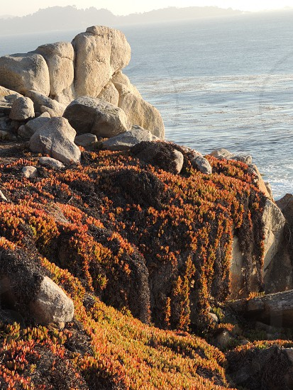 Late afternoon Autumn sunlight showcases cascading ice plant in Monterrey CA.  photo