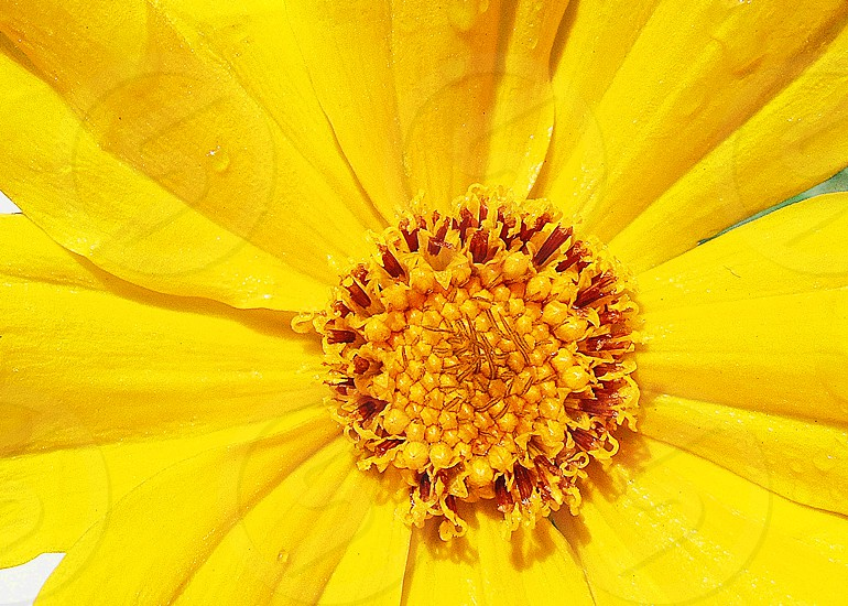Macro image of the center and petals of a bright yellow flower photo