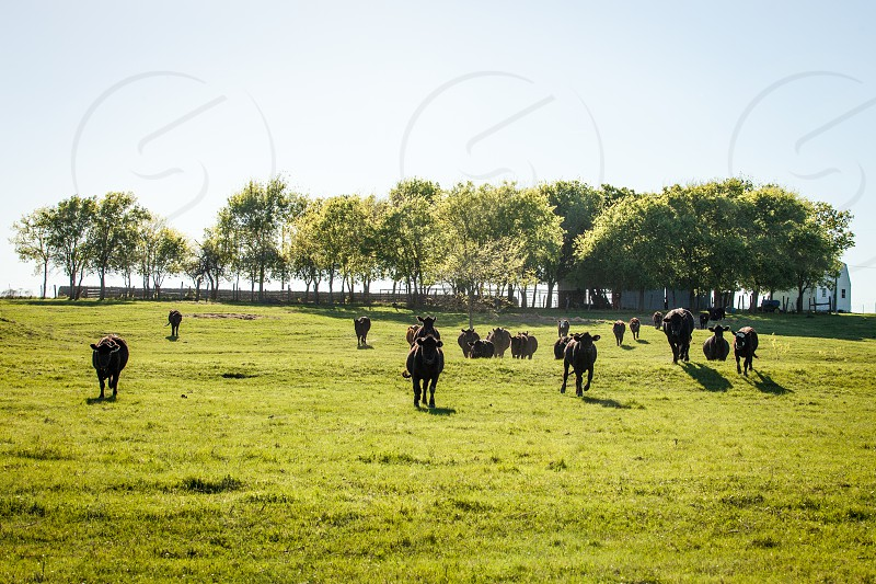 Cows in the pasture. photo