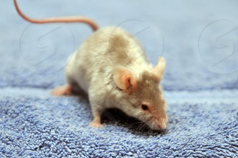 Silver satin mouse photo