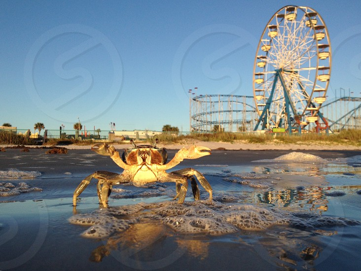 gold crab photo