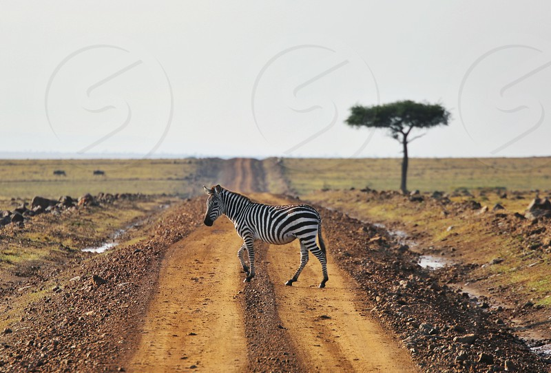 Traveling  Africa Safari wild world zebra road crossing  animal photo