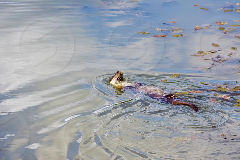 Eurasian Otter (Lutra lutra) Doing the Backstroke photo