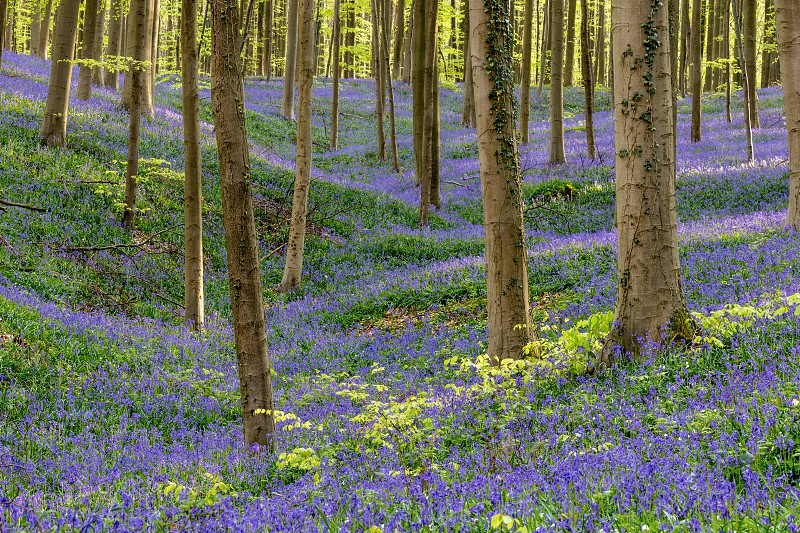 Natural spring colors in a Belgian wood with green colors from fresh leaves on trees and a blue -violet capert from bluebells in bloom. What's missing is the smell coming from these lovely flowers. photo