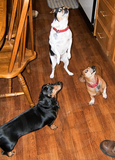 Three doggies begging for food. Dog pup puppy canine weenie dog animal pets woof photo