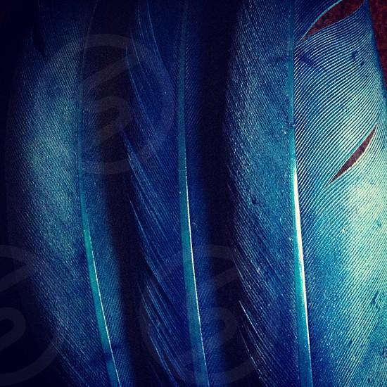 blue feathers photo