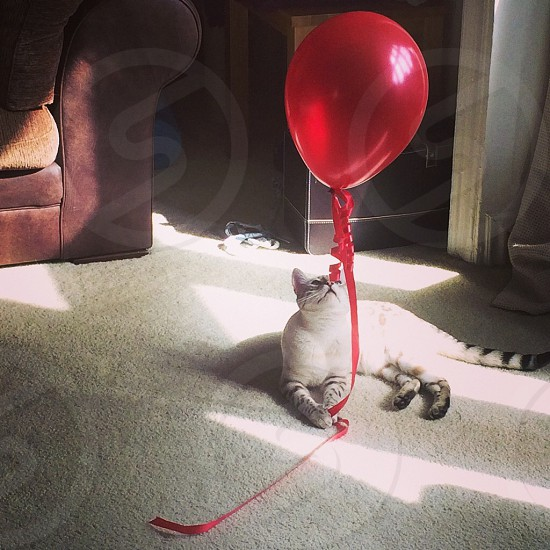 Happiness is a fluffy cat and a bright red balloon.  photo