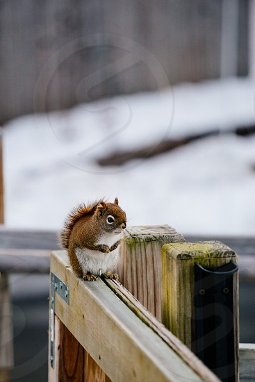 Red Squirrel hunting for winter food. photo