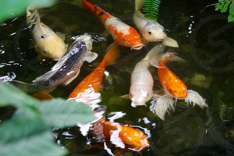 assorted breeds of koi fishes in macro photography photo