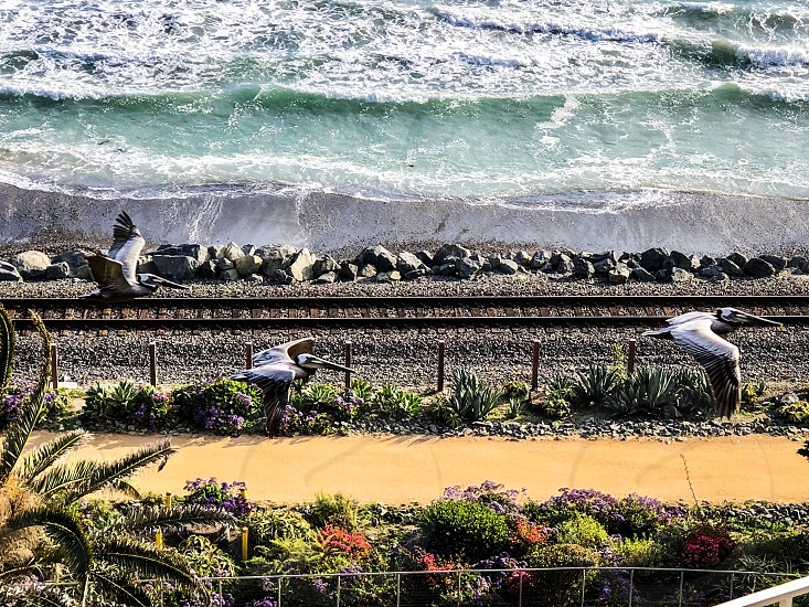Facing Extinction Request Pelicans Flying Above Railroad Tracks Along The Southern California Coastline Pelicans Coast Coastal Railroad Tracks Beach Trails  photo