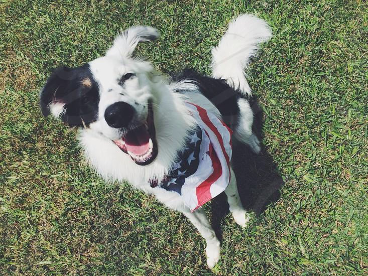 #bordercollie #dog #america #usa #murica photo