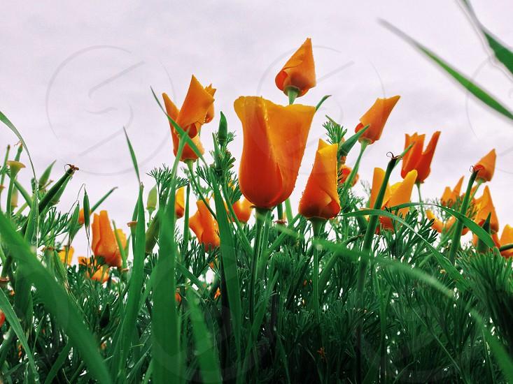 orange tulips photo