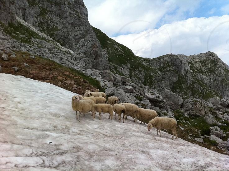 Slovenia Julian Alps Alps alpine hiking sheep troop group herd snow ice mountains rock wool animal mammal wild high photo